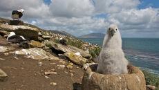 Koniec albatrosów? Ptaki morskie giną