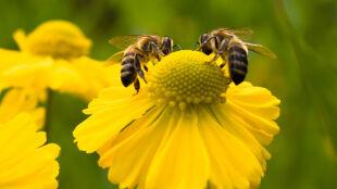 Jak będzie wyglądał świat bez pszczół? W Chinach już wiedzą